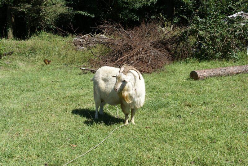 九重山麓風の丘 羊